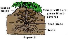 potato plant diagram alba living rh albaliving com life cycle diagram of a potato plant diagram of a sweet potato plant